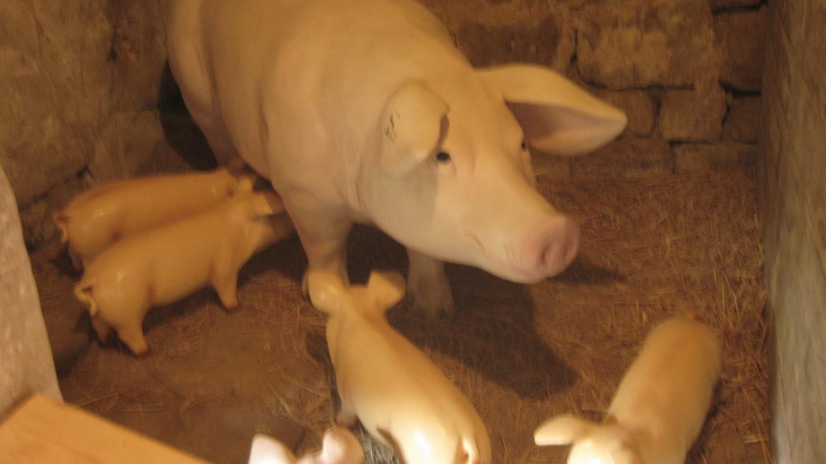 La transformation du cochon